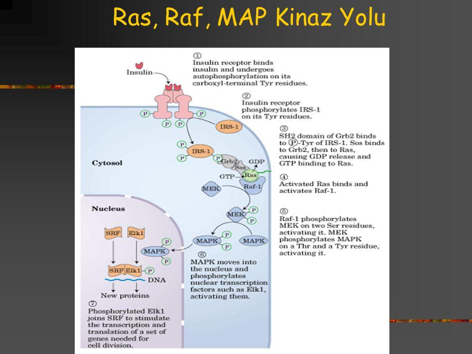 Ras, Raf, MAP Kinaz Yolu