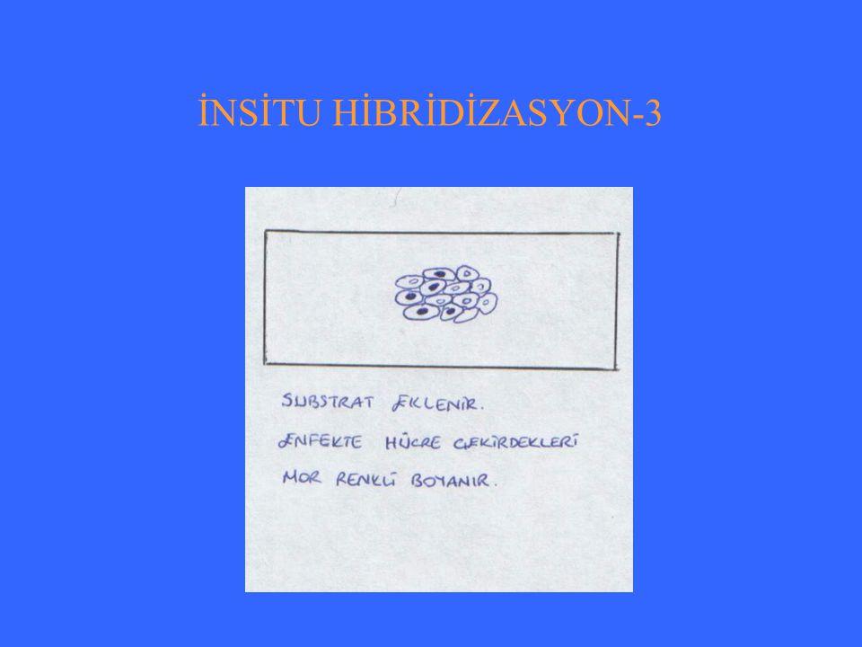 İNSİTU HİBRİDİZASYON-3