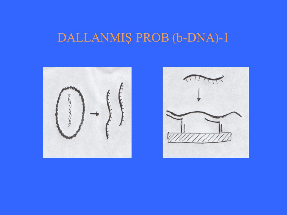 DALLANMIŞ PROB (b-DNA)-1