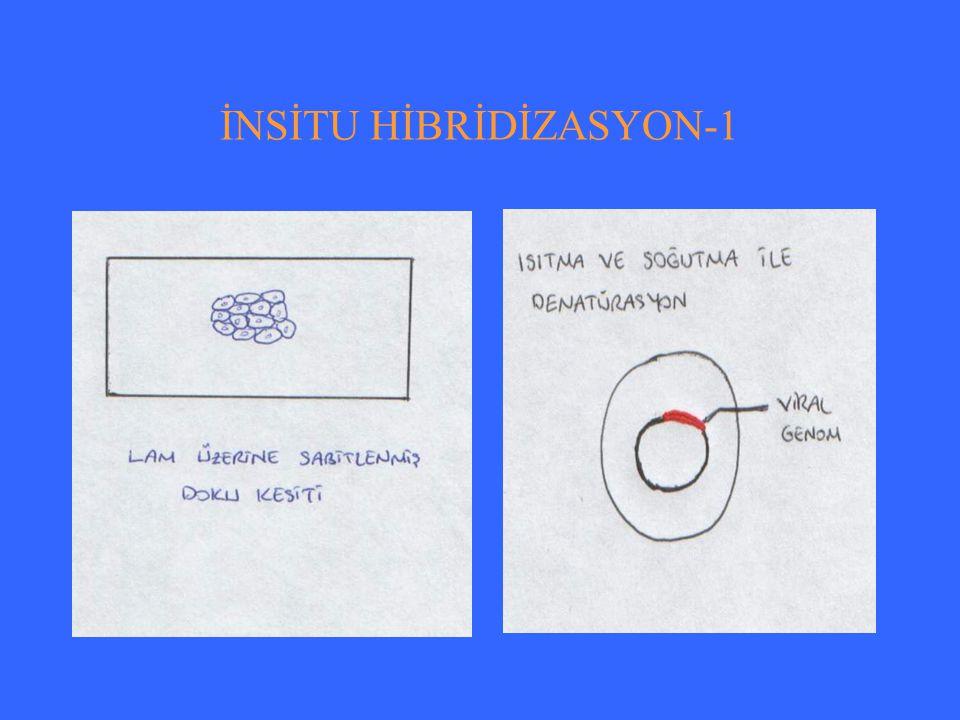 İNSİTU HİBRİDİZASYON-1