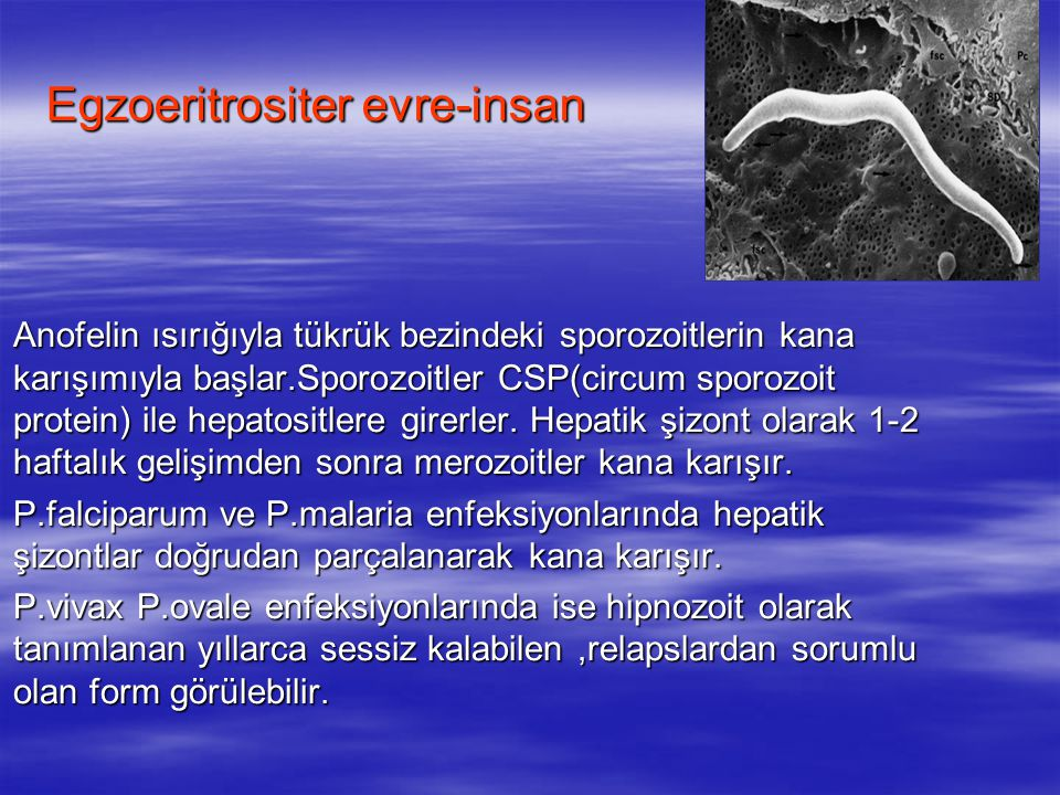 Egzoeritrositer evre-insan
