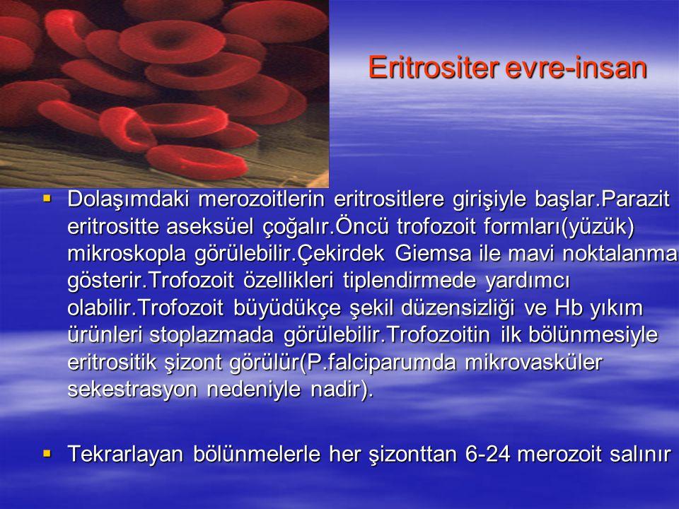 Eritrositer evre-insan