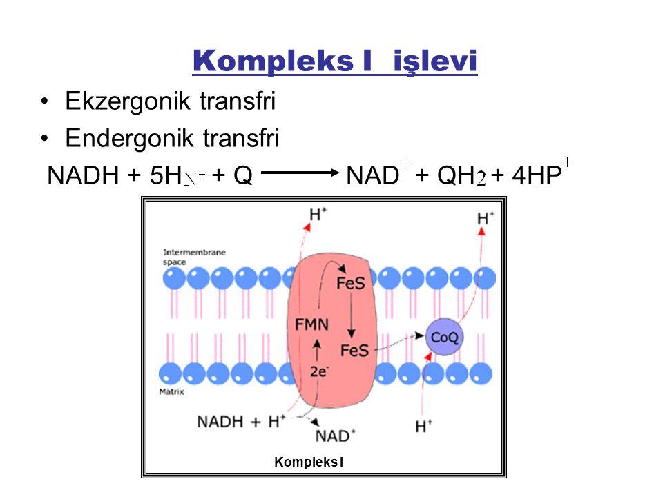 Kompleks I işlevi Ekzergonik transfri Endergonik transfri