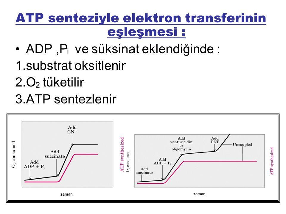 ATP senteziyle elektron transferinin eşleşmesi :