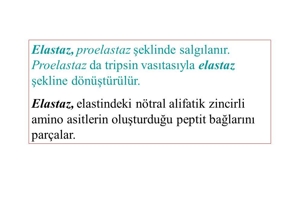 Elastaz, proelastaz şeklinde salgılanır