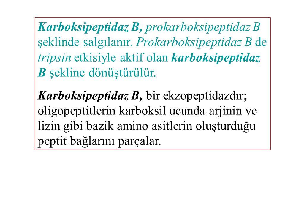 Karboksipeptidaz B, prokarboksipeptidaz B şeklinde salgılanır