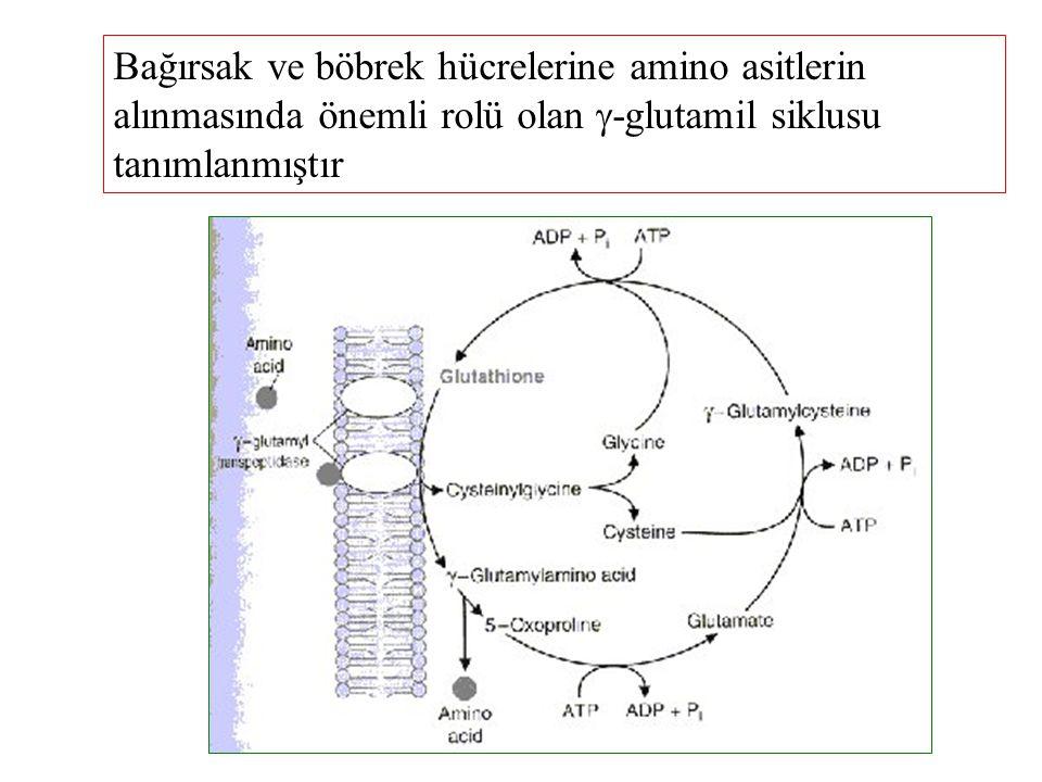 Bağırsak ve böbrek hücrelerine amino asitlerin alınmasında önemli rolü olan -glutamil siklusu tanımlanmıştır
