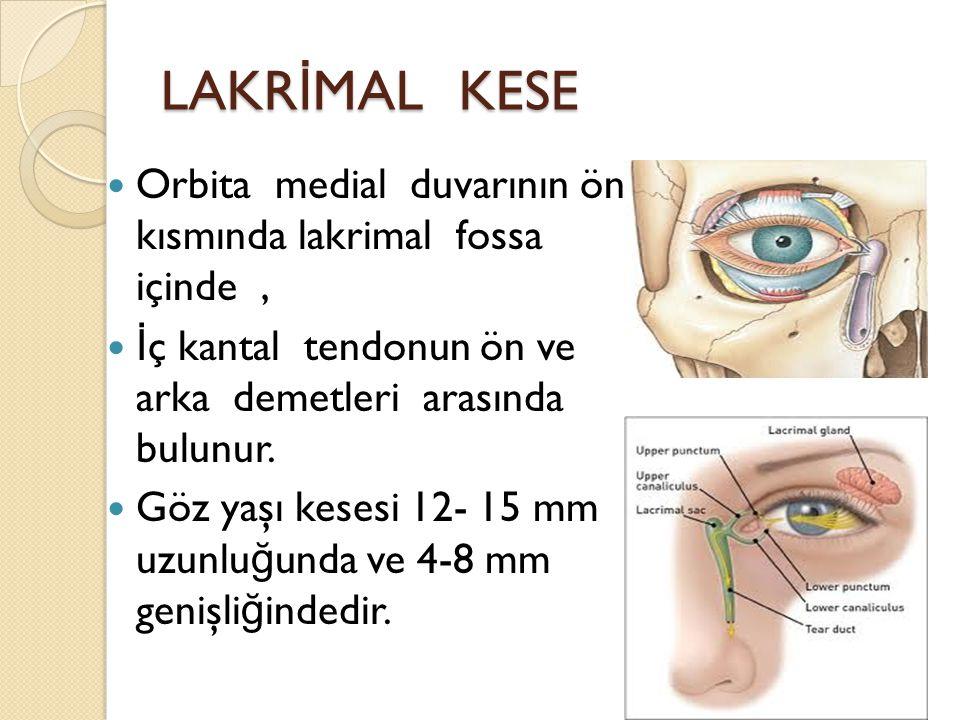 LAKRİMAL KESE Orbita medial duvarının ön kısmında lakrimal fossa içinde , İç kantal tendonun ön ve arka demetleri arasında bulunur.