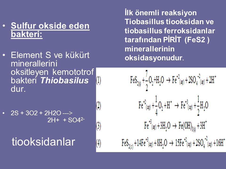 tiooksidanlar Sulfur okside eden bakteri:
