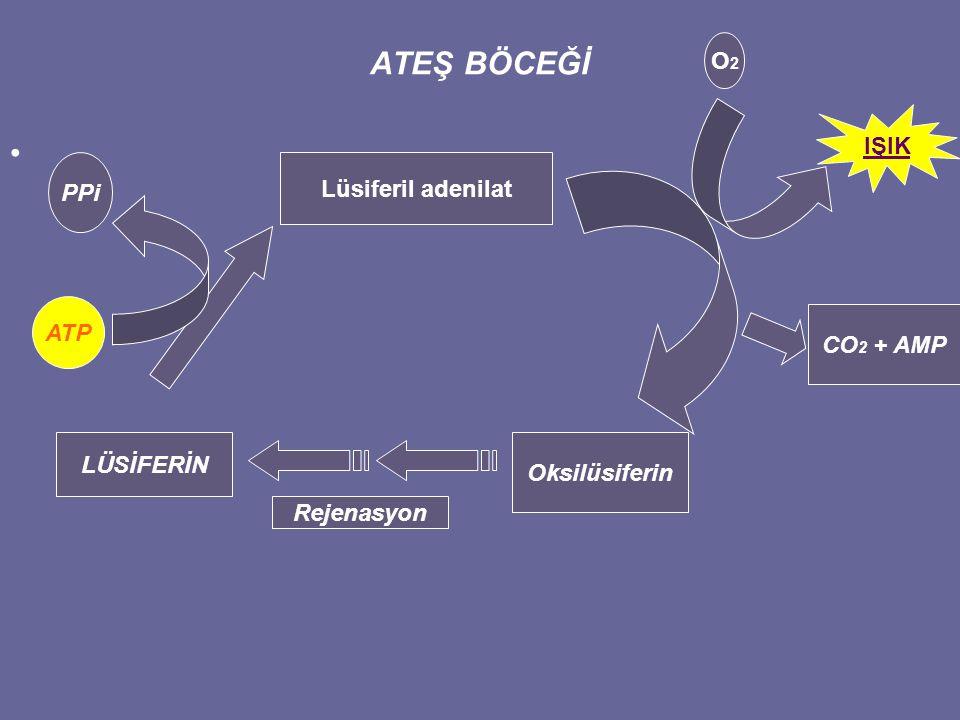 ATEŞ BÖCEĞİ O2 IŞIK PPi Lüsiferil adenilat ATP CO2 + AMP LÜSİFERİN