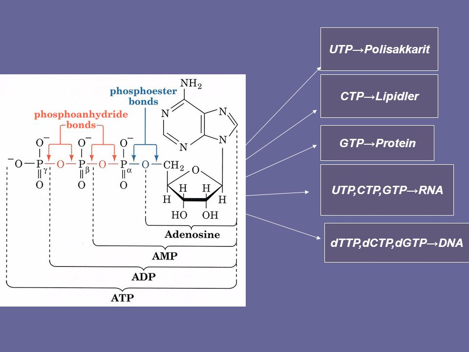 UTP→Polisakkarit CTP→Lipidler GTP→Protein UTP,CTP,GTP→RNA dTTP,dCTP,dGTP→DNA