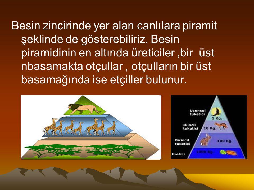 Besin zincirinde yer alan canlılara piramit şeklinde de gösterebiliriz