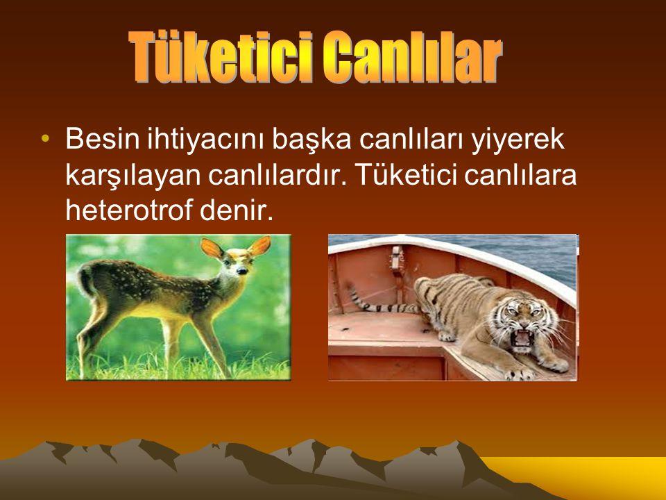 Tüketici Canlılar Besin ihtiyacını başka canlıları yiyerek karşılayan canlılardır.