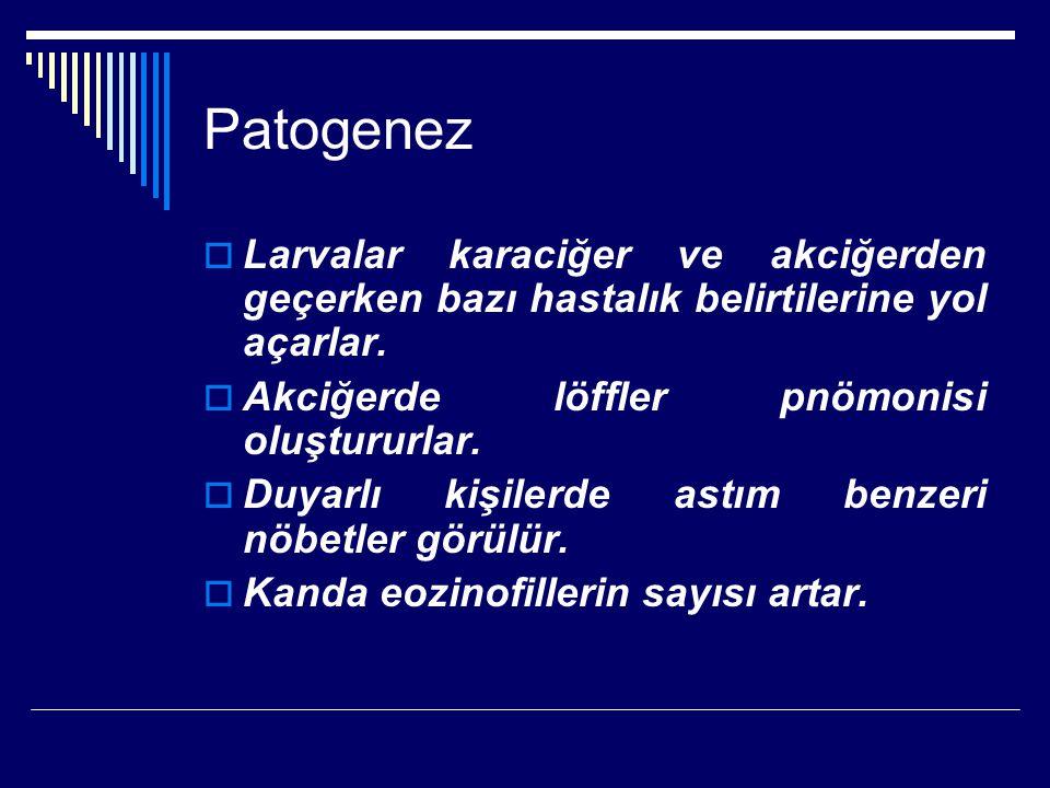 Patogenez Larvalar karaciğer ve akciğerden geçerken bazı hastalık belirtilerine yol açarlar. Akciğerde löffler pnömonisi oluştururlar.