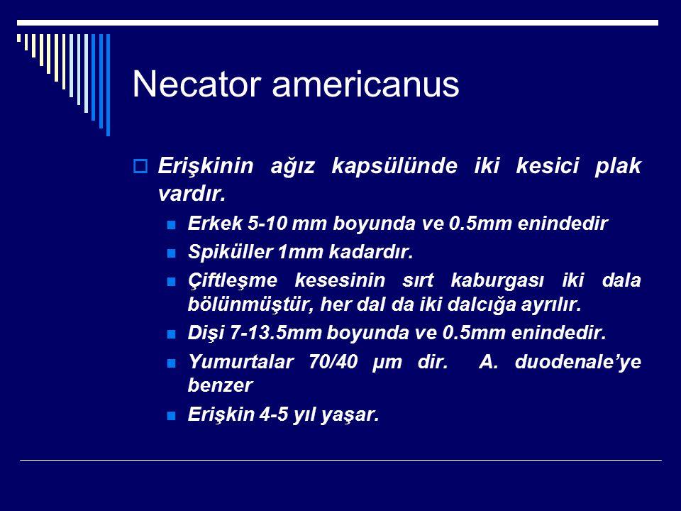 Necator americanus Erişkinin ağız kapsülünde iki kesici plak vardır.