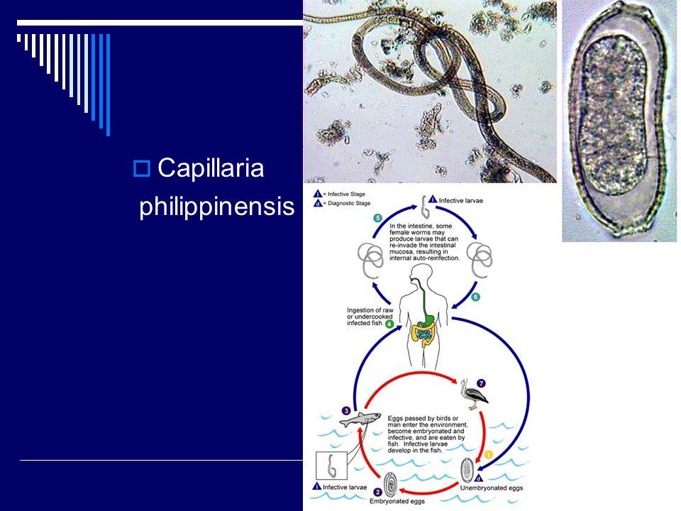 Capillaria philippinensis