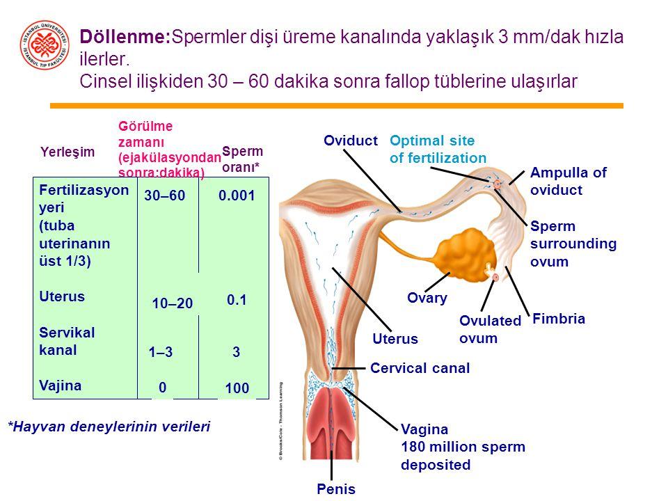 Döllenme:Spermler dişi üreme kanalında yaklaşık 3 mm/dak hızla ilerler