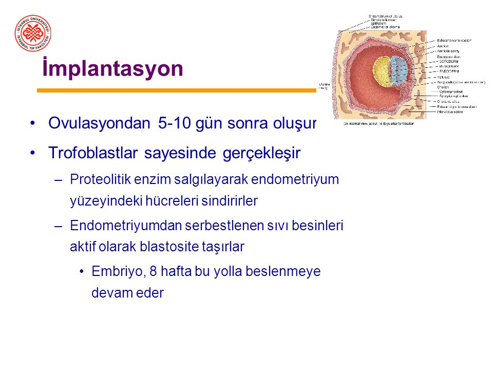 İmplantasyon Ovulasyondan 5-10 gün sonra oluşur