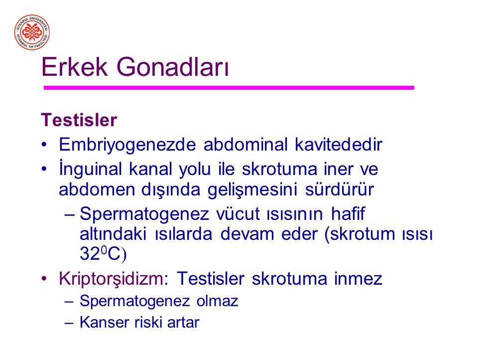 Erkek Gonadları Testisler Embriyogenezde abdominal kavitededir
