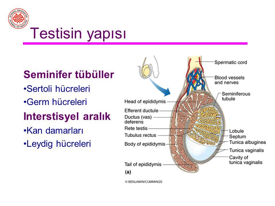 Testisin yapısı Seminifer tübüller Interstisyel aralık