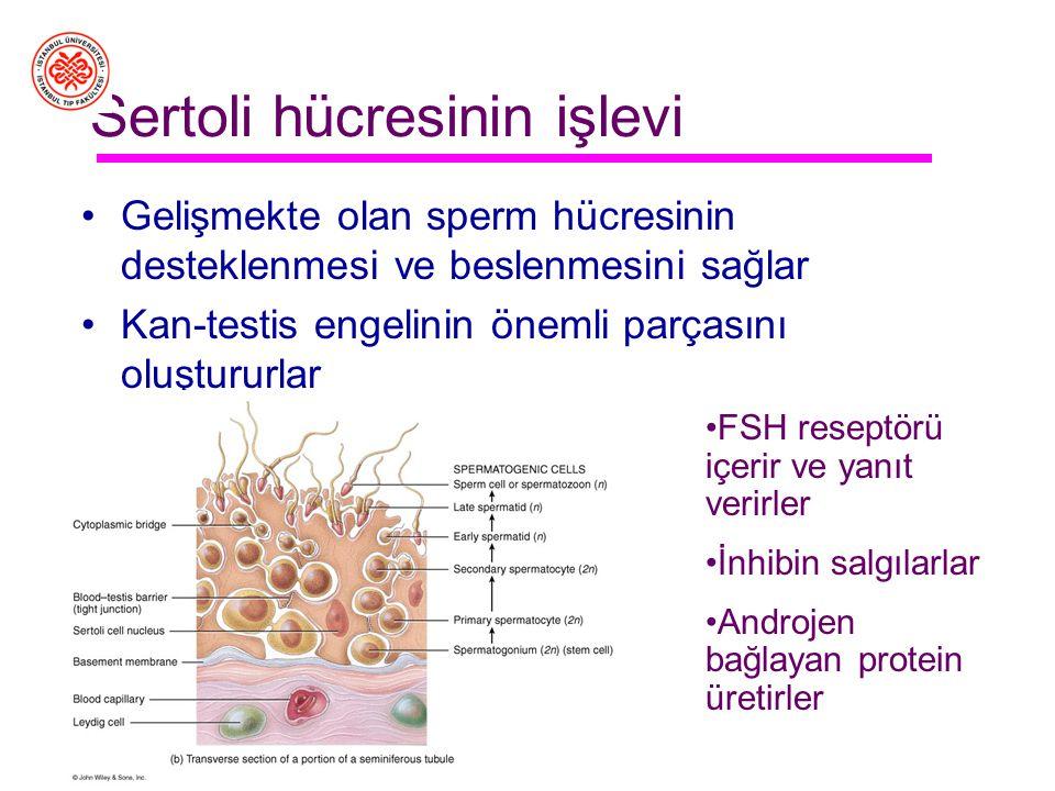 Sertoli hücresinin işlevi