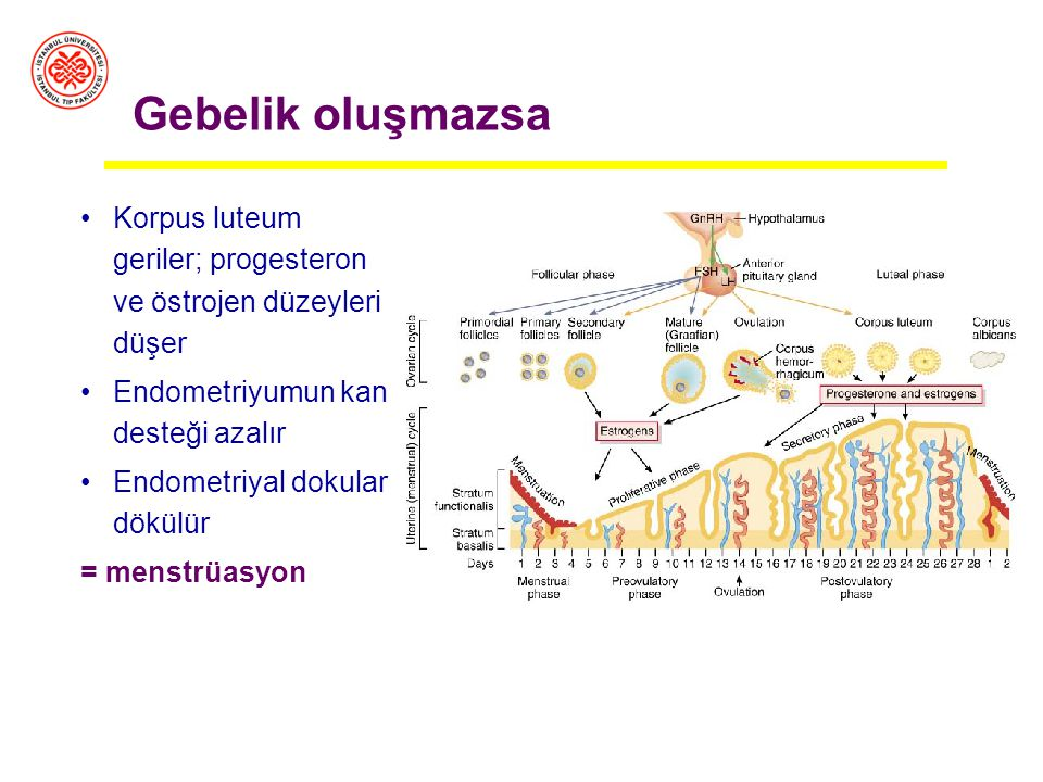 Gebelik oluşmazsa Korpus luteum geriler; progesteron ve östrojen düzeyleri düşer. Endometriyumun kan desteği azalır.