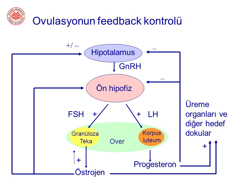 Ovulasyonun feedback kontrolü