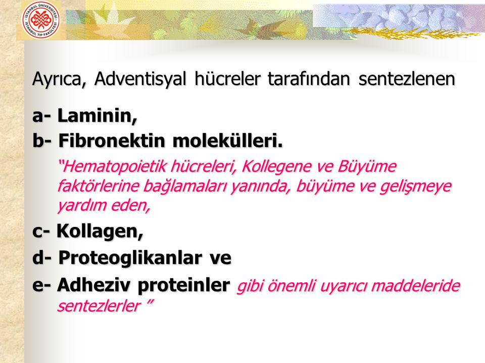 Ayrıca, Adventisyal hücreler tarafından sentezlenen a- Laminin,