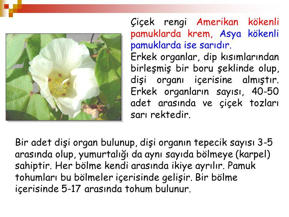 Çiçek rengi Amerikan kökenli pamuklarda krem, Asya kökenli pamuklarda ise sarıdır.