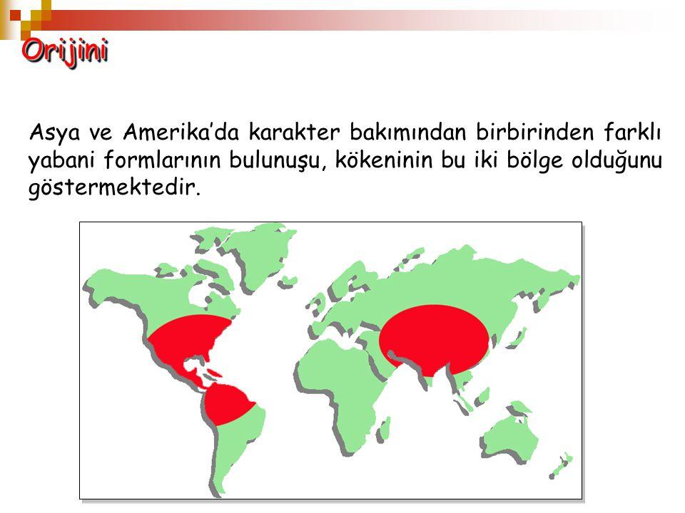 Orijini Asya ve Amerika'da karakter bakımından birbirinden farklı yabani formlarının bulunuşu, kökeninin bu iki bölge olduğunu göstermektedir.