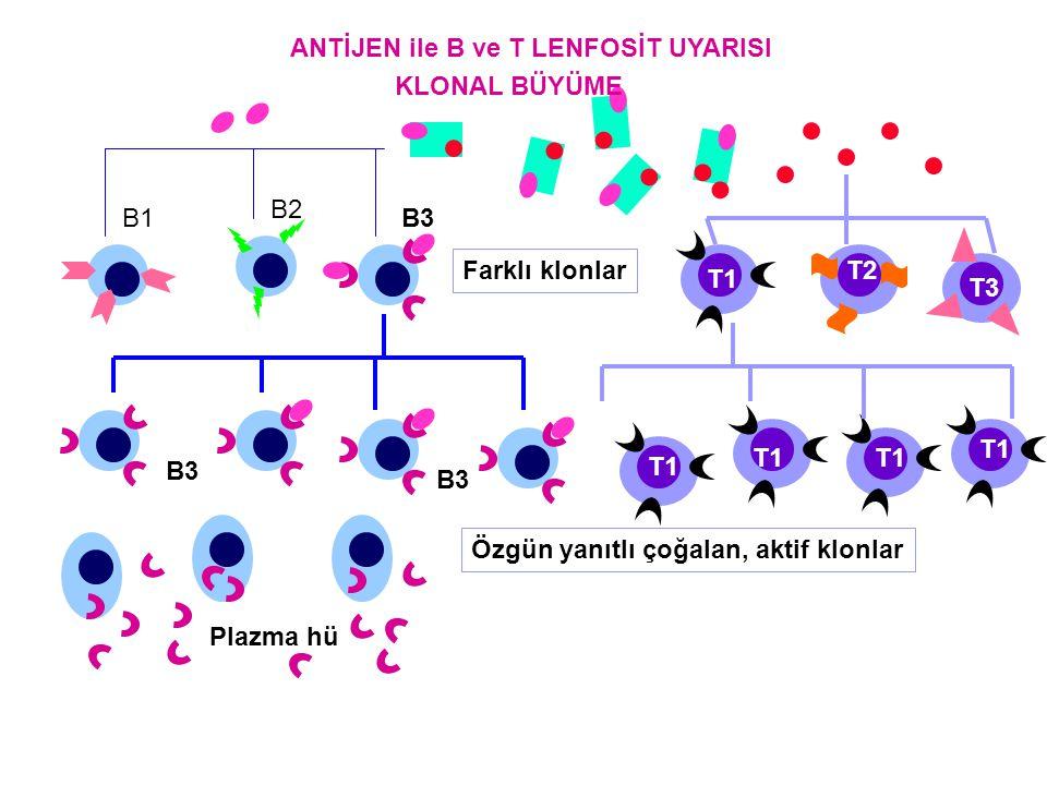 ANTİJEN ile B ve T LENFOSİT UYARISI