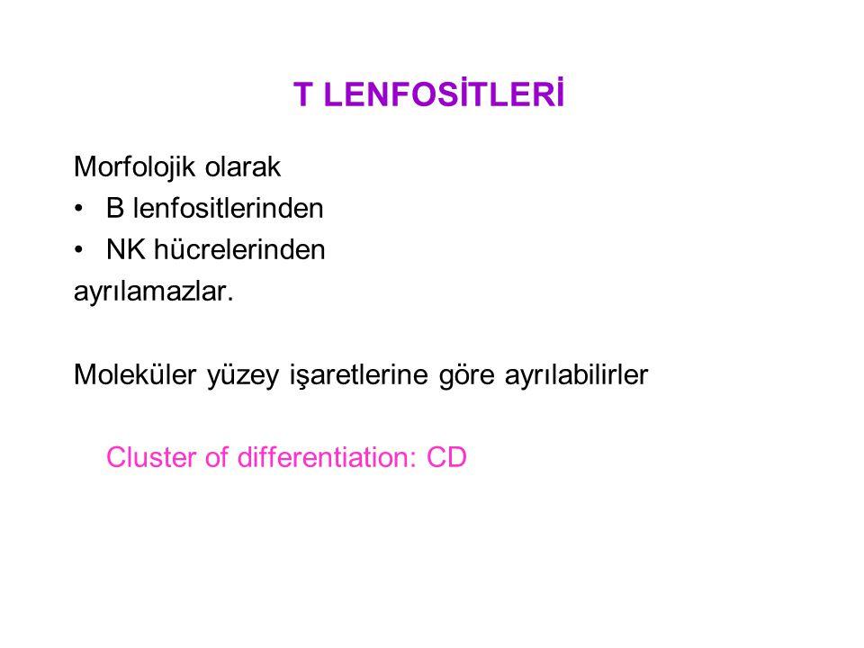 T LENFOSİTLERİ Morfolojik olarak B lenfositlerinden NK hücrelerinden