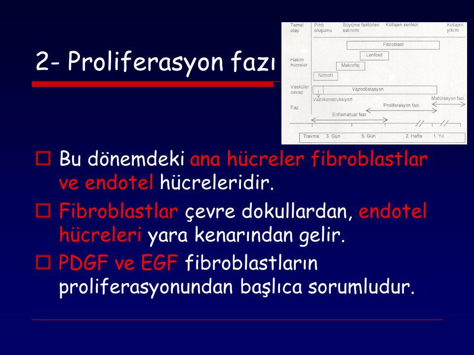 2- Proliferasyon fazı Bu dönemdeki ana hücreler fibroblastlar ve endotel hücreleridir.
