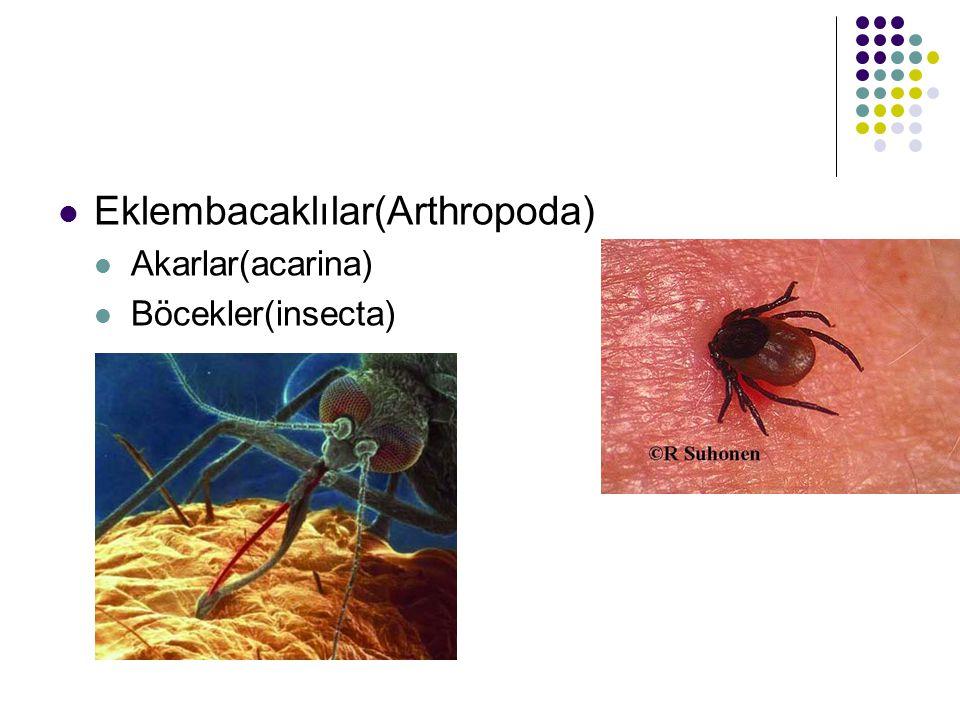 Eklembacaklılar(Arthropoda)