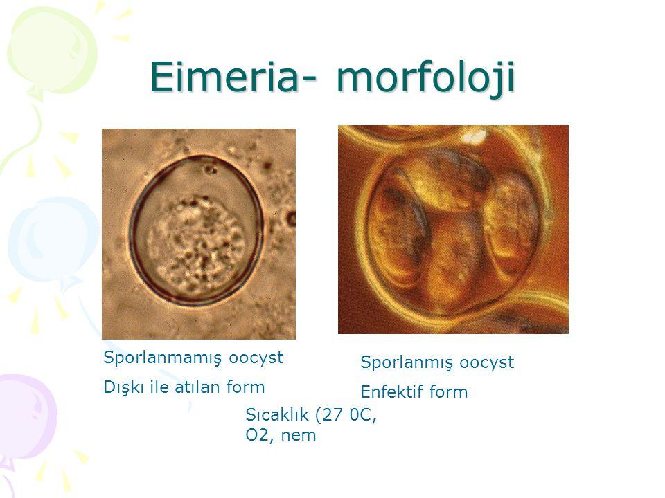 Eimeria- morfoloji Sporlanmamış oocyst Sporlanmış oocyst