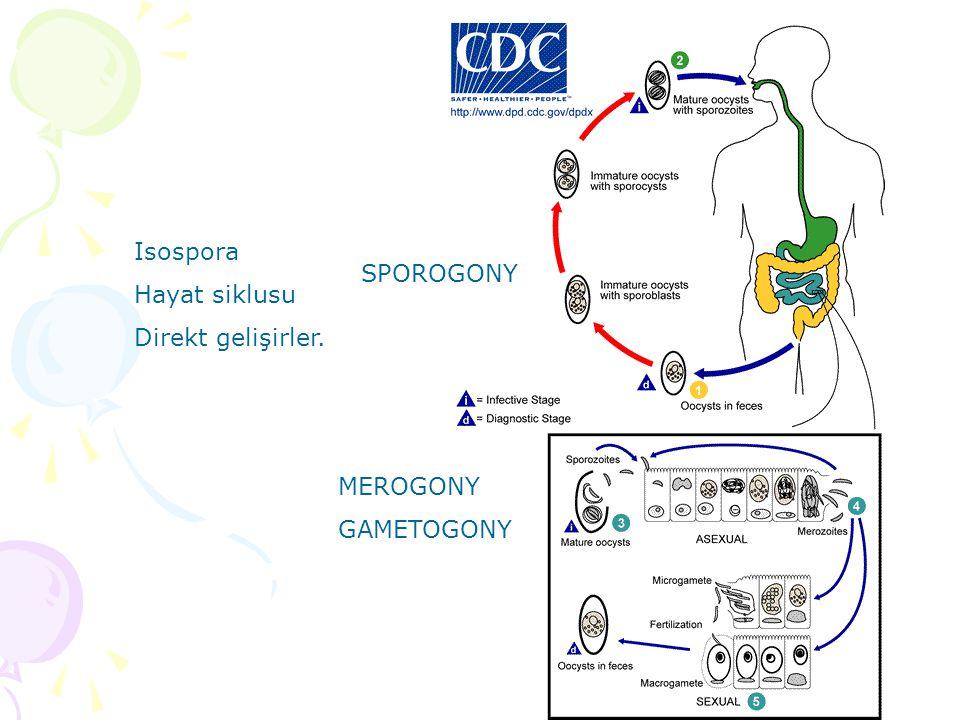 Isospora Hayat siklusu Direkt gelişirler. SPOROGONY MEROGONY GAMETOGONY