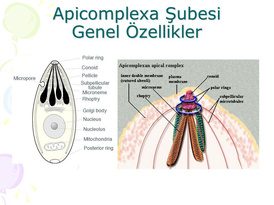 Apicomplexa Şubesi Genel Özellikler