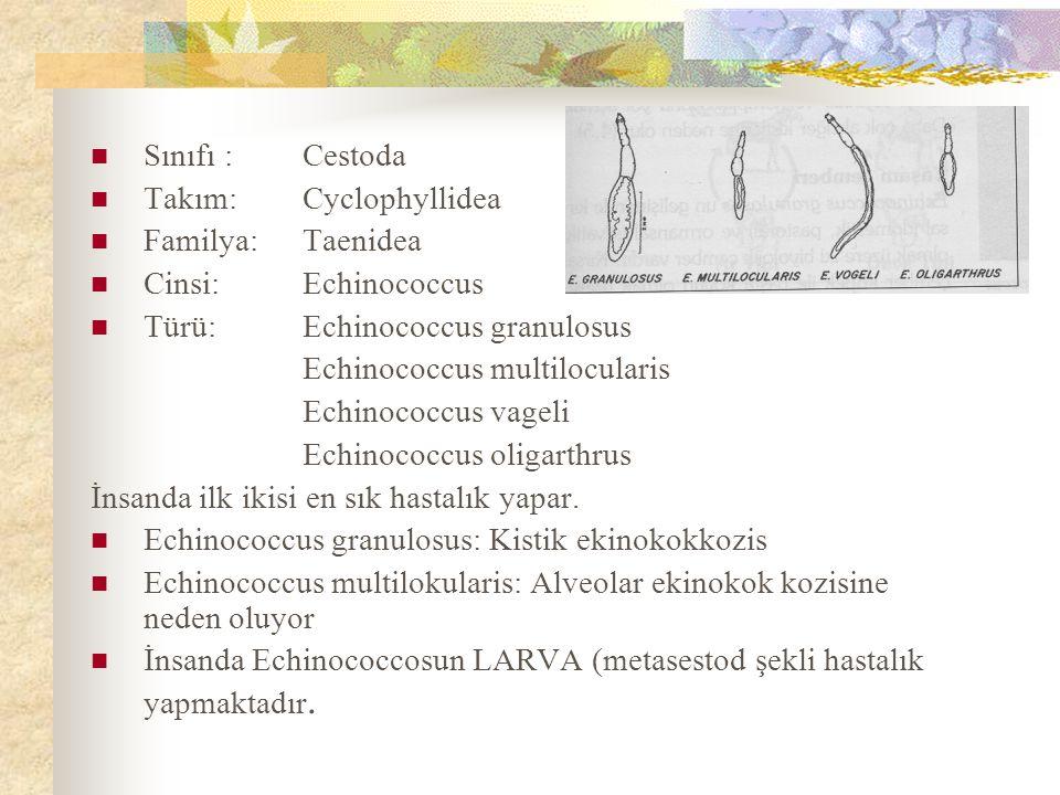 Sınıfı : Cestoda Takım: Cyclophyllidea. Familya: Taenidea. Cinsi: Echinococcus. Türü: Echinococcus granulosus.