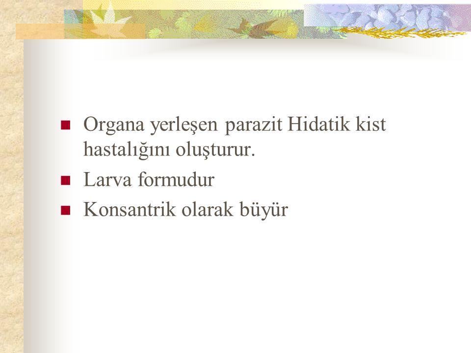 Organa yerleşen parazit Hidatik kist hastalığını oluşturur.