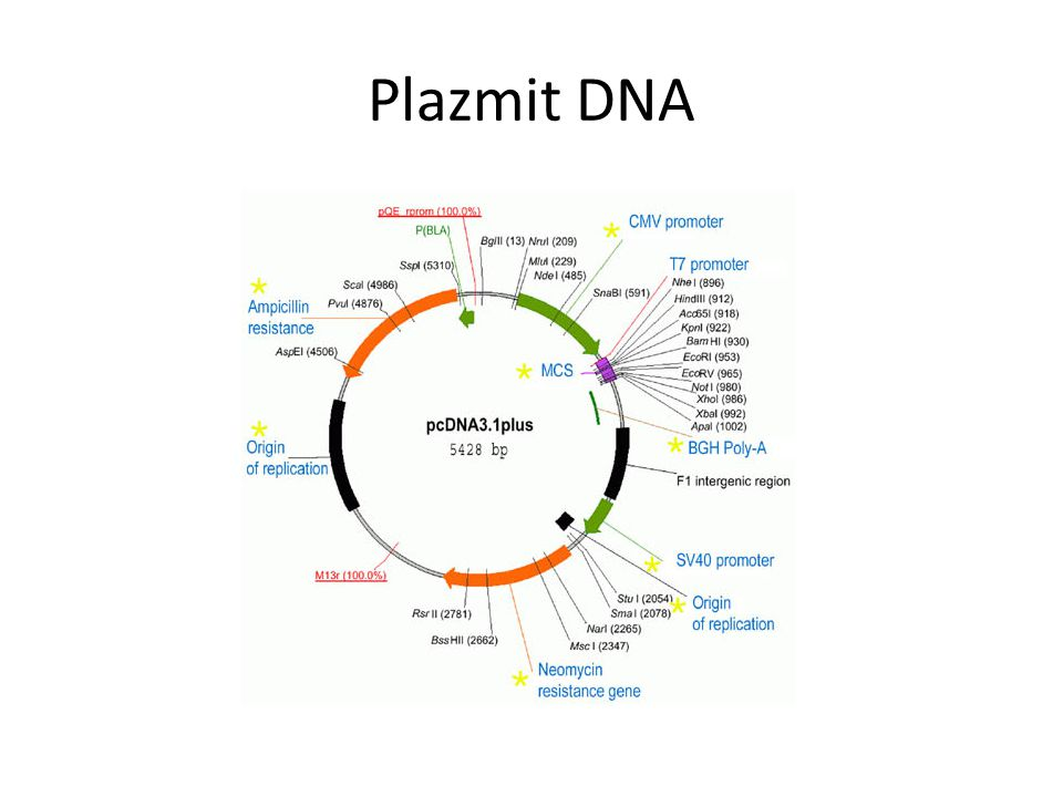 Plazmit DNA