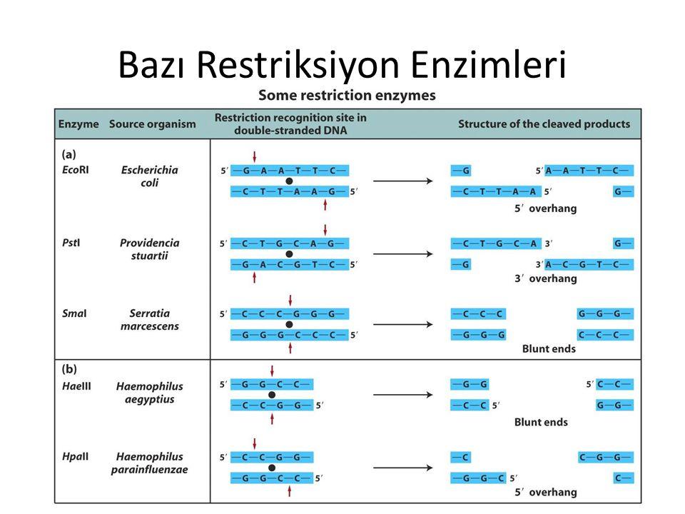 Bazı Restriksiyon Enzimleri