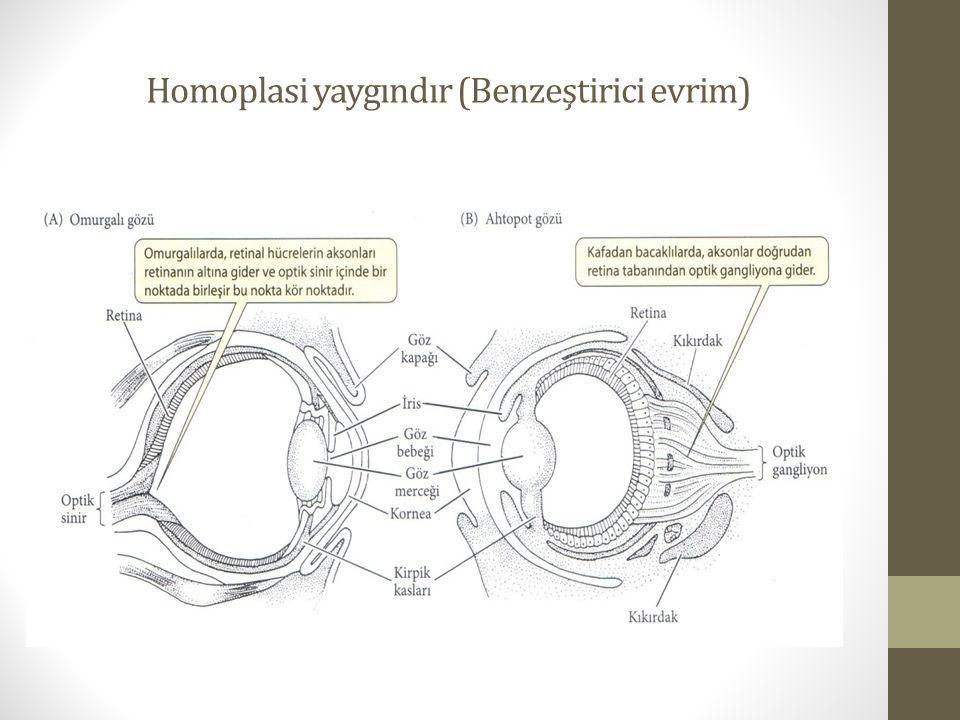 Homoplasi yaygındır (Benzeştirici evrim)