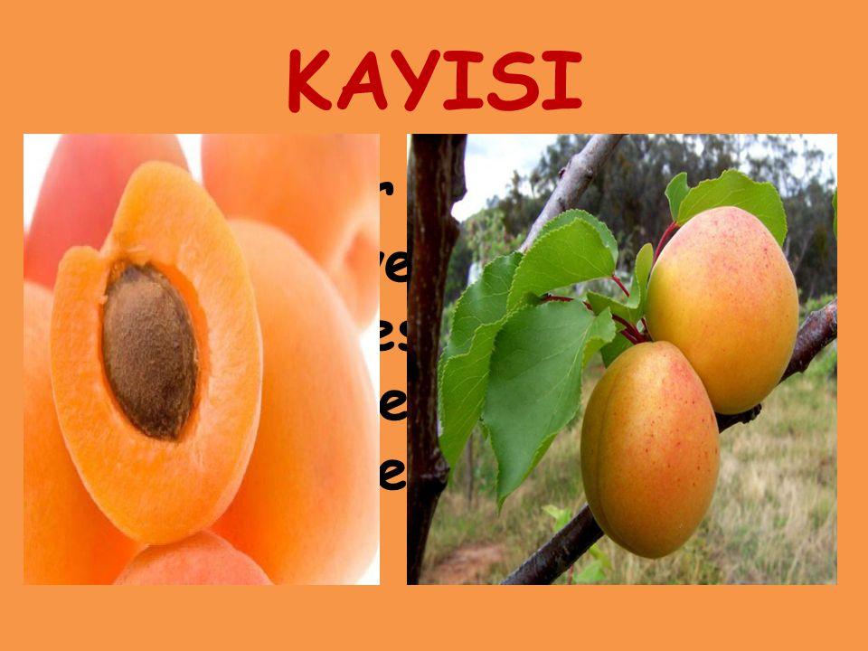 KAYISI Gülgiller familyasından bir meyve ağacı ve bu ağacın besleyici değeri yüksek sert çekirdekli meyvesi.