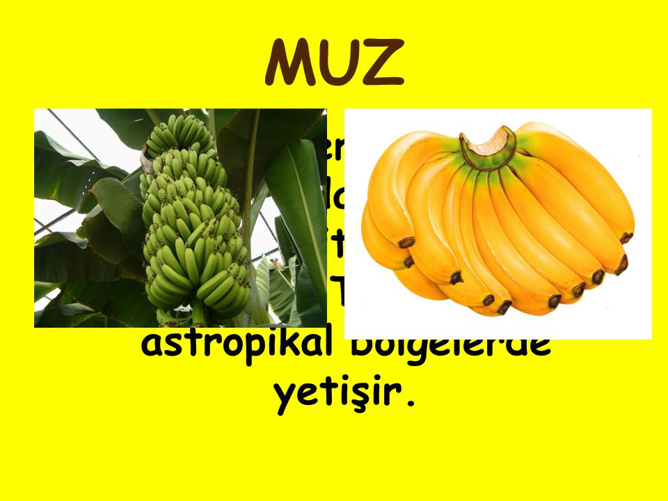 MUZ Bir çeneklilerin muzgiller familyasından, çok yıllık otsu bir bitki ve bunun meyvesi.