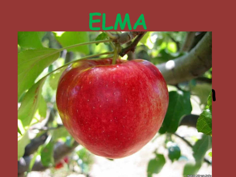 ELMA Çiçekleri pembe ya da beyaz bir ağaç ve bu ağacın yenebilir etli meyvesi.
