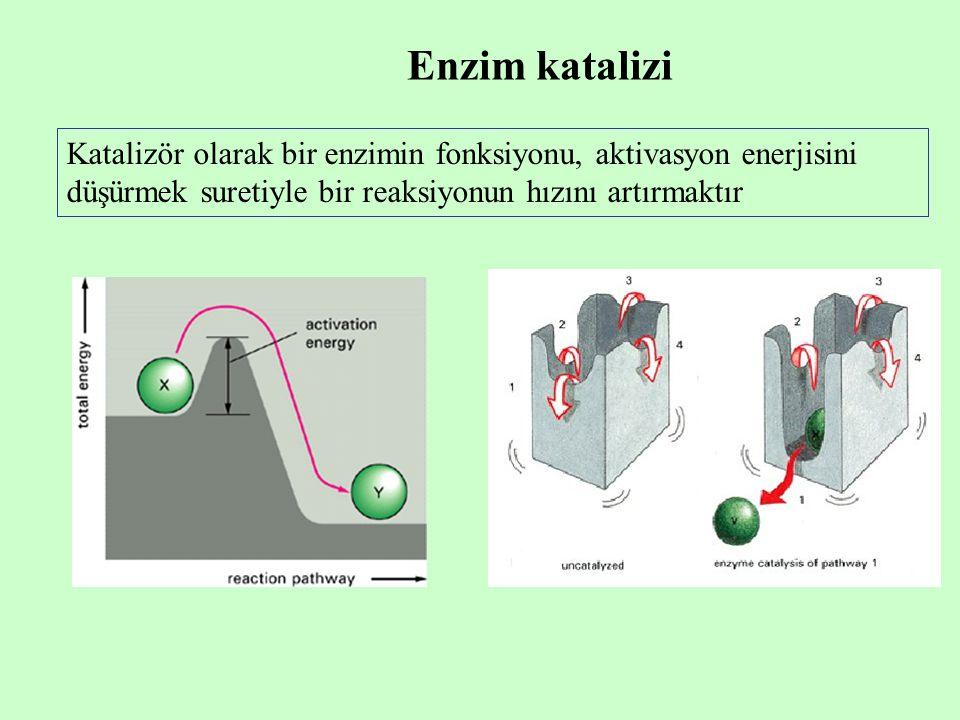 Enzim katalizi Katalizör olarak bir enzimin fonksiyonu, aktivasyon enerjisini düşürmek suretiyle bir reaksiyonun hızını artırmaktır.