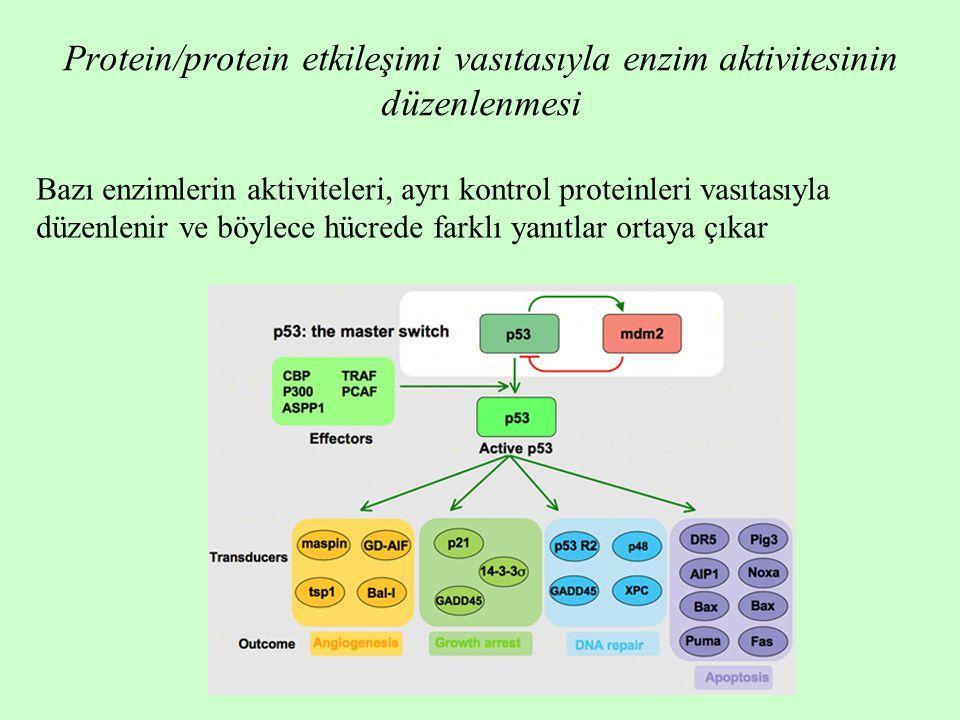 Protein/protein etkileşimi vasıtasıyla enzim aktivitesinin düzenlenmesi