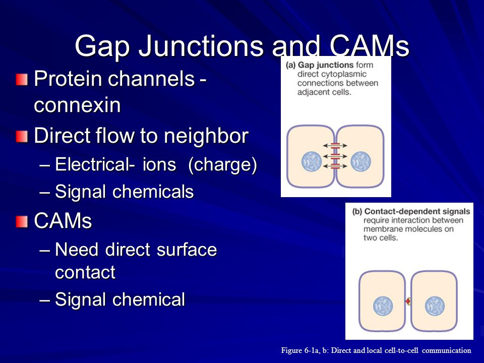Gap Junctions and CAMs Protein channels - connexin