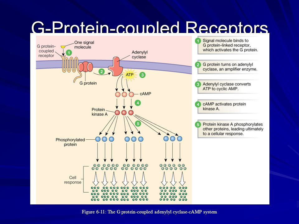 G-Protein-coupled Receptors