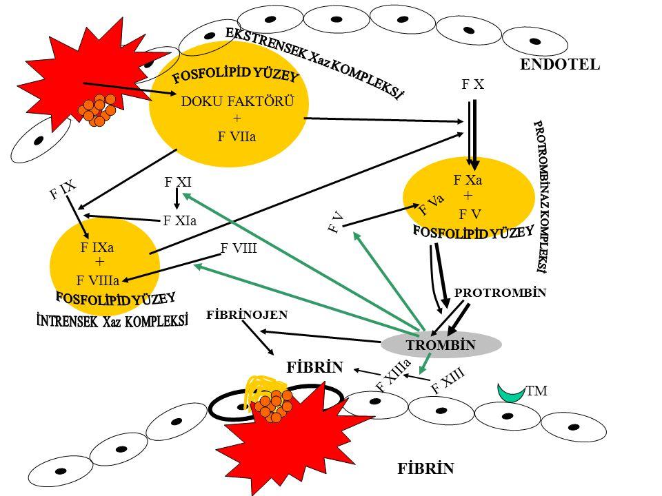 ENDOTEL + F İ B R İ N FİBRİN FİBRİN F X DOKU FAKTÖRÜ + F VIIa F XI